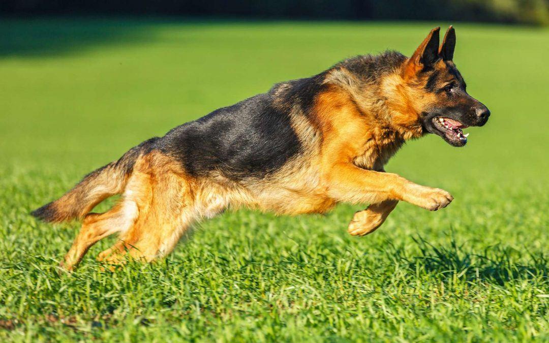 Comment faire cohabiter son berger allemand avec d'autres animaux : avec quels animaux ?