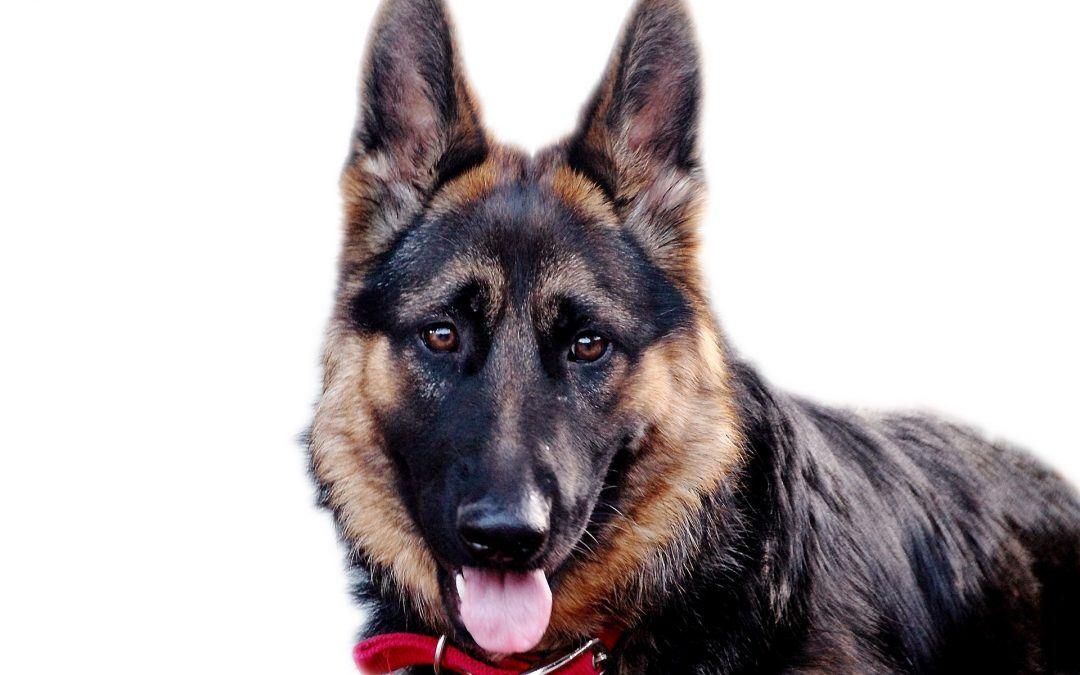 Le Berger Allemand: un chien très utile